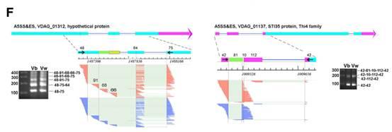 黄萎病基因VDAG_01312中的可变剪接事件可视化图及验证结果图