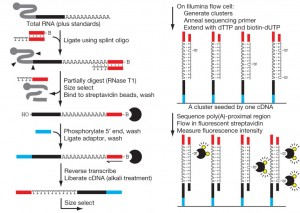 mRNA poly(A)长度不影响翻译效率