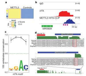 N6-methyladenosine marks primary microRNAs for processing miRNA甲基化的新功能