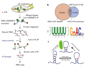 N6-methyladenosine-dependent RNA structural switches regulate RNA–protein interactions.