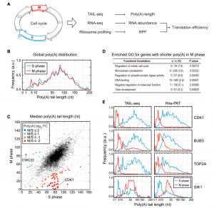 Regulation of Poly(A) Tail and Translation during the Somatic Cell Cycle