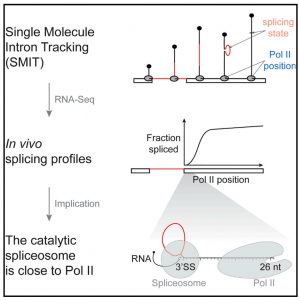 Splicing of Nascent RNA Coincides with Intron Exit from RNA Polymerase II