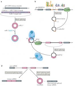 The biogenesis and emerging roles of circular RNAs